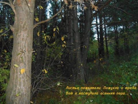 Сосновый бор осенью
