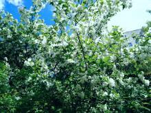 Белоснежная яблоня.